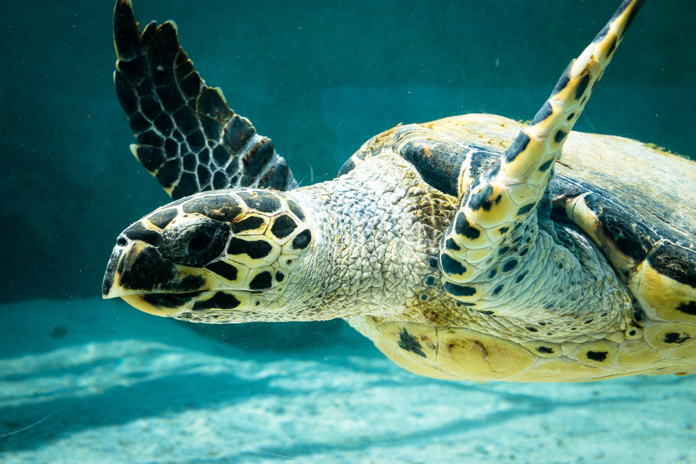 Tortue à l'Aquarium Churaumi d'Okinawa au Japon