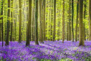 Le bois de Hal en Belgique
